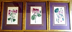 3 kolorierte Kupferstiche von S. Watts nach E. D. Smith aus Robert Sweet: Geraniaceae. The natural ...