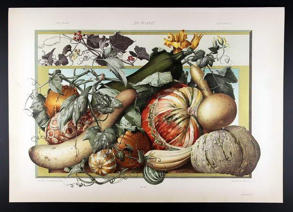 Pumpkin, White Bryony   Kürbis, Zaunrübe: E. Unger, Anton