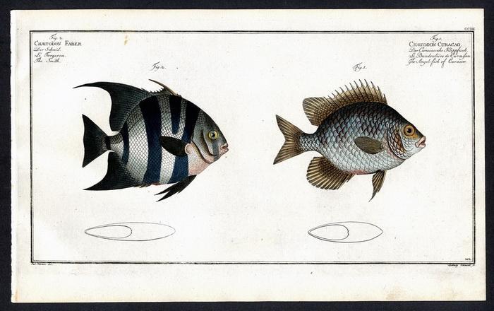 Chaetodon Faber – Der Schmid – Le: Pater) Plümie, Bloch,