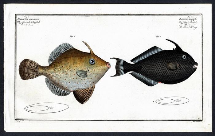 Balistes Chinensis – Der Chinesische Hornfisch –: Krüger jr., Bloch,