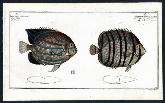 Chaetodon octofasciatus – Der achtbandige Klippfisch –: Krüger jr., Bloch,