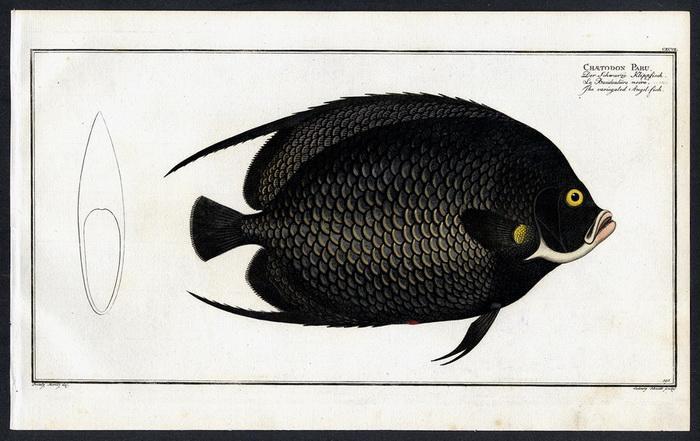 Chaetodon Paru – Der Schwarze Klippfisch –: Prinz Moritz, Bloch,