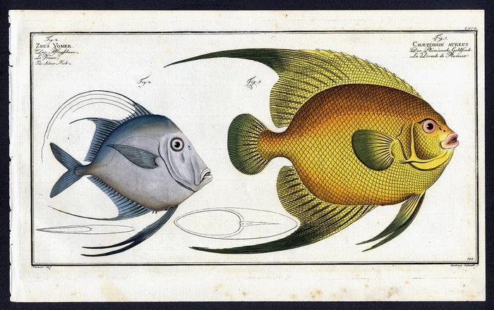 Chaetodon Aureus – Der Plümiersche Goldfisch –: Pater) Plümie, Bloch,