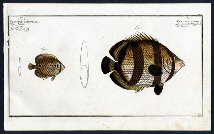 Chaetodon striatus – Der bandirte Klippfisch –: Krüger jr., Bloch,