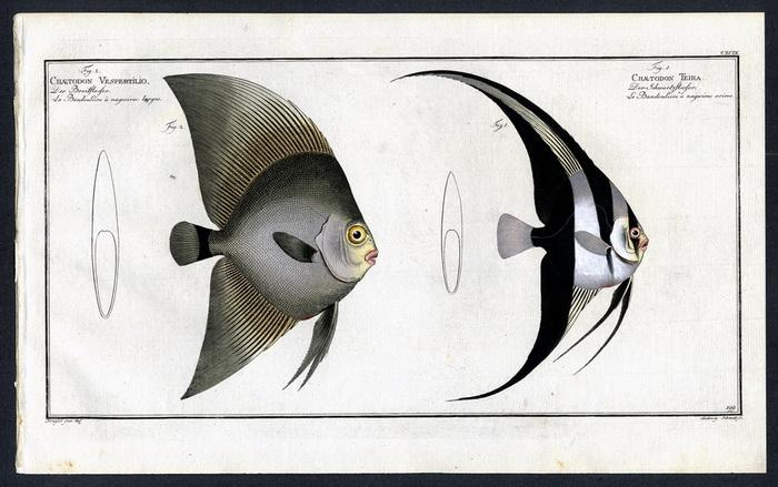 Chaetodon teira – Der Schwartzflosser – La: Krüger jr., Bloch,