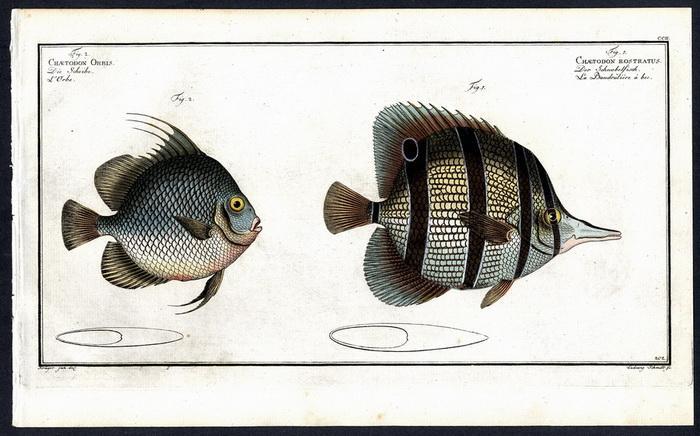 Chaetodon Rostratus – Der Schnabelfisch – La: Krüger jr., Bloch,