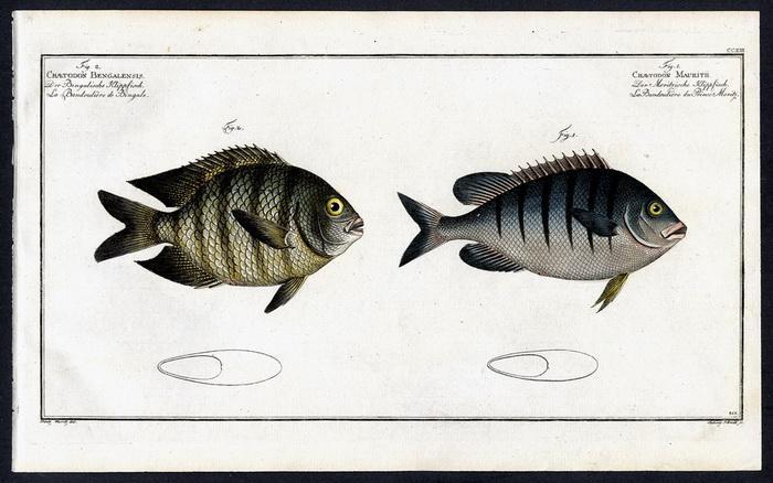 Chaetodon Mauritii – Der Moritzische Klippfisch –: Prinz Moritz, Bloch,