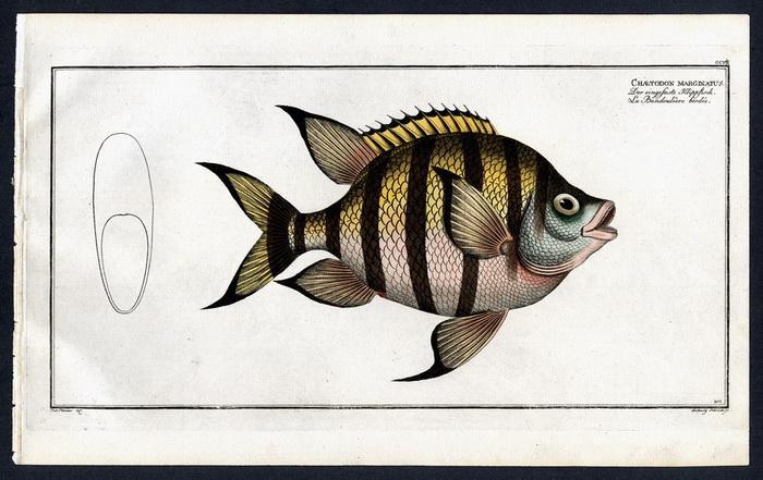 Chaetodon marginatus – Der eingefaste Klippfisch –: Pater) Plümie, Bloch,