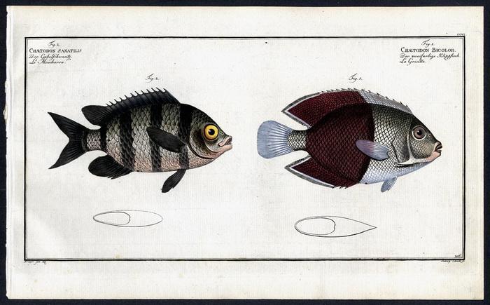 Chaetodon bicolor – Der zweifarbige Klippfisch –: Krüger jr., Bloch,