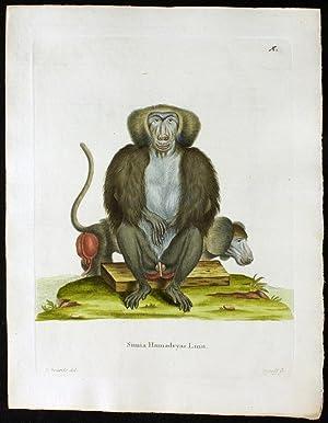 Simia Hamadryas Linn. - Mantelpavian: Edwards, Johann Christian Daniel Schreber (1739-1810).