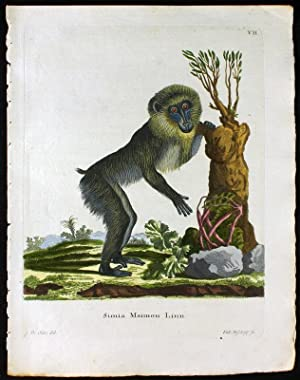 Simia Maimon Linn. - Mandrill