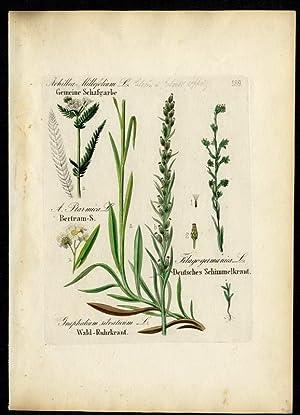 Gemeine Schafgarbe (Achillea millefolium) – Bertram-Schafgarbe (A.: David N. F.