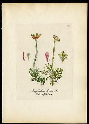 Katzenpfötchen (Gnaphalium dioicum): David N. F.