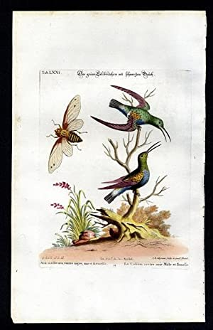 The Black Breasted Gren Hummingbirds & an: Seligmann, Johann Michael
