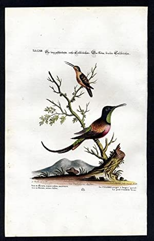 The Long-Tailed Red Hummingbird & The Small Brown Hummingbird. - Das langgeschwänzte, rothe Colib...