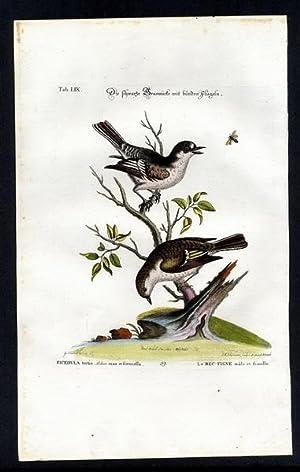The Black Warbler. - Die schwarze Grasmücke: Seligmann, Johann Michael