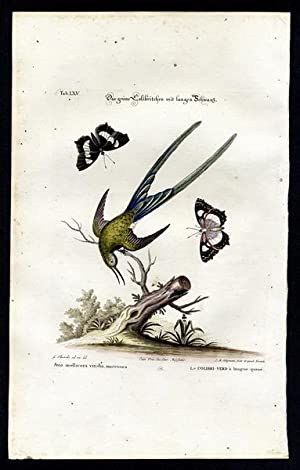 The Long Tailed Green Hummingbird [and a Butterfly]. - Das grüne Colibritchen mit langem Schwanz....