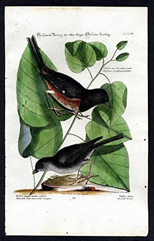 The Eastern Towhee and the Brown-headed Cowbird. - Der schwarze Sperling mit rothen Augen. Der br...