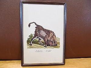 Der Auer-Ochse. Le Taureau Sauvage. Il Bue Salvatica. The wild Bull. Kolorierte Radierung bzw. ...