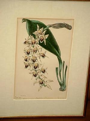 Cymbidium Devonianum. Altkolorierte Lithographie nach S. Holden um 1840 ( wohl aus Paxton's ...