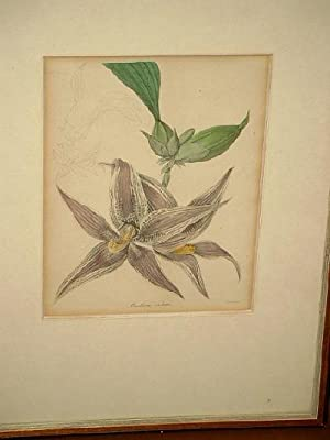 Maxillaria cristata. Altkolorierte Lithographie nach Withers um 1830.
