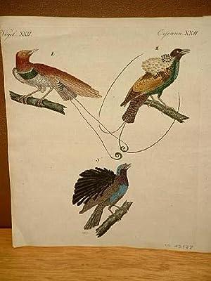 """Altkolorierter Kupferstich aus dem """" Bilderbuch für Kinder """" mit 3 Vogeldarstellungen um ..."""