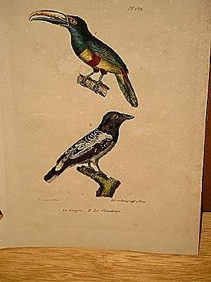 Grigri + Le Cassican: 2 altkolorierte lithographierte Vogeldarstellungen nach Burggraff auf einem ...