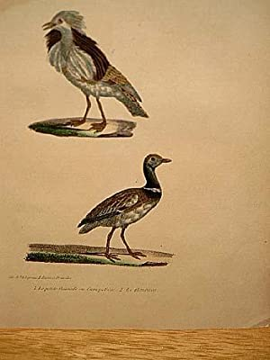 Petite Outarde ou Canepetiere ( = Zwergtrappe ) + Le Houbara. 2 altkolorierte lithographierte ...