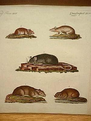 ratten und m use der caraco die wander ratte haus ratte wald maus wasser maus. Black Bedroom Furniture Sets. Home Design Ideas