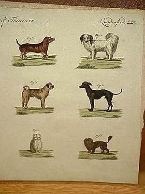 Hunde verschiedener Art: Dachshund - Wachtelhund - türkische Hund - Mops - Bologneser - ...