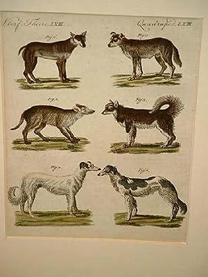 Hunde verschiedener Art: Wilder Hund aus Cayenne - große Wolfshund - Russische Hund - Wolfs ...