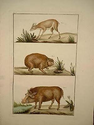 Wildschwein und 2 andere Tiere: Altkolorierter Kupferstich mit 3 übereinander dargestellten Tieren ...