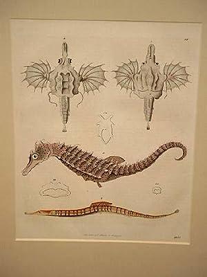 Die geringelten Schnabelköpfe: Seepferdchen- Nadelfische: Altkolorierte Lithographie von 1845.
