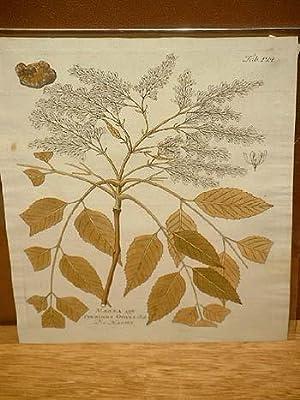 Manna - Fraxinus Ornus: Altkolorierter Kupferstich um 1800.