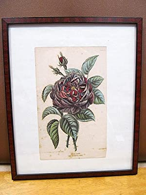 Prince Albert new perpetual rose. Drawn from nature by Lucy de Beaurepaire, engraved by Alfred Ad...