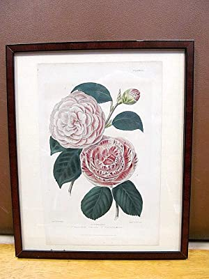 Camellias: Augustina superba ? Caryophylloides. Farblithographie drawn by Withers, engraved by Th...