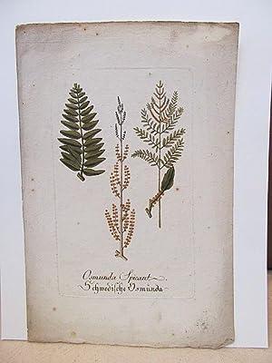 Osmunda spicant   Schwedische Osmunda ( Rippenfarn ). Altkolorierter Kupferstich um 1700 auf ...