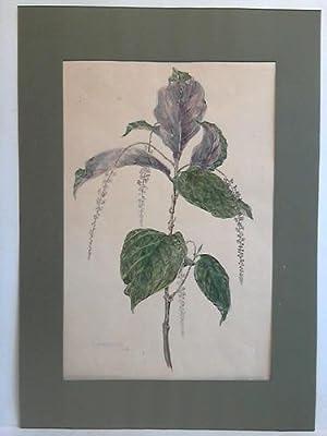 Aquarell Blumenbild: Phytolaccaeae Ledenbergia: Astfalck-Vietz, Marta (geb. 21. Juli 1901 in ...
