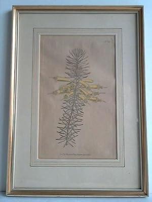 Blumenbild: No.189 - Kolorierter Kupferstich: Edwards, Sydenham (1768 - 1819)