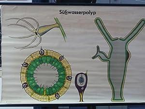 Hrs. von der Akademie der pädagogischen Wissenschaften: Süßwasserpolyp