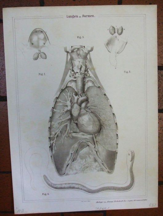 Lungen-Formen. Vier Abbilungen auf einem Blatt: in der Mitte die ...
