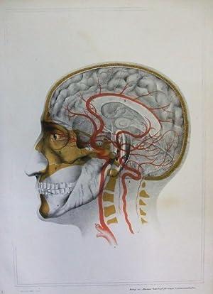 Querschnitt durch den menschlichen Schädel von der Seite mit ...