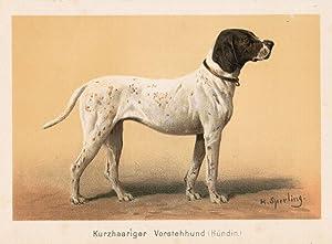 Kurzhaariger Vorstehhund (Hündin),: Jagdhund