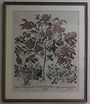 Rosa Damascena flore plenum. Als Begleitpflanzen: Trifolium: Damaszener Rose