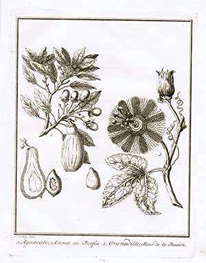 Aguacate, Avorat où Persea. Granadilla, Fleur de: Avocado