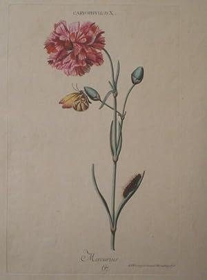 CARYOPHYLLUS X. - Mercurius. Altkolorierter Kupferstich von Adam Ludwig Wirsing, 1768.