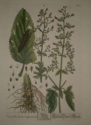 Serophularia aquatica. - Kleine Dürr-Wurtz. Altkolorierter Kupferstich von Nicolaus Friedrich ...
