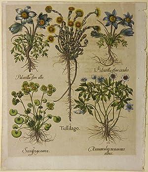 I. Tussilago. II. Pulsatilla flore coeruleo. III. Pulsatilla flore albo. IV. Ranunculus nemorosus ...