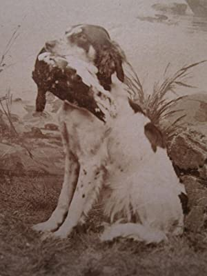 ANTIQUE NORWEGIAN NORWAY BIRD LONG HAIRED HUNTING DOG CDV MATHIESEN FINE PHOTO