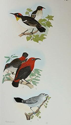 Beitrag zur Fauna Centralpolynesiens. Ornithologie der Viti-,: ORNITHOLOGIE - FINSCH,